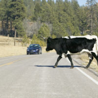 Cow crosses the road with car approaching